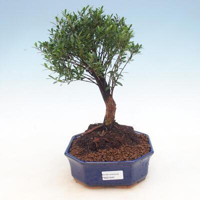 Room bonsai - Syzygium - Pimentovník - 1