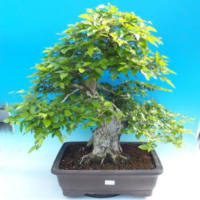 Outdoor bonsai -Carpinus CARPINOIDES - Korean Hornbeam - 1