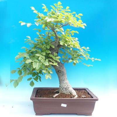 Outdoor bonsai - Fraxinus - Ash Mountain - 1
