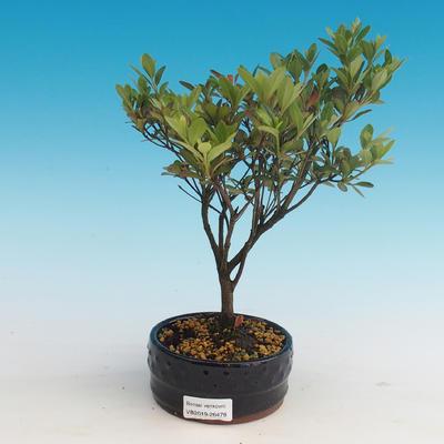 Outdoor bonsai - Rhododendron sp. - Azalea pink - 1