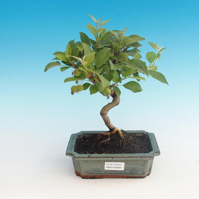 Outdoor bonsai - Malus halliana - Malplate apple tree - 1
