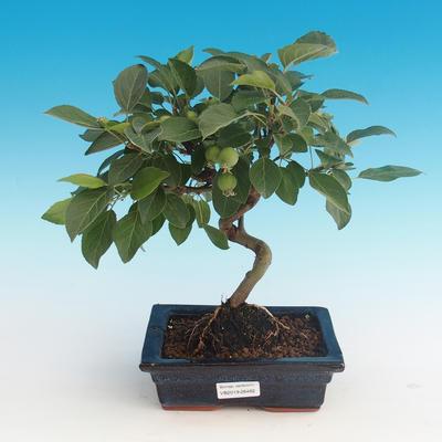 Outdoor bonsai - Malus halliana - Malplate apple tree - 1
