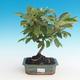 Outdoor bonsai - Malus halliana - Malplate apple tree - 1/4