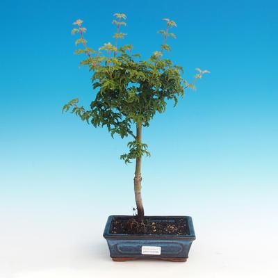 Outdoor bonsai - Acer palmatum SHISHIGASHIRA- Lesser maple - 1