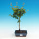 Outdoor bonsai - Acer palmatum SHISHIGASHIRA- Lesser maple - 1/3