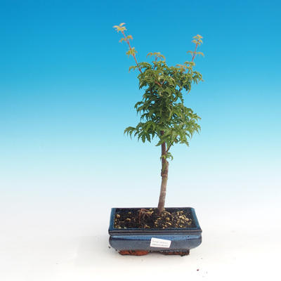 Outdoor bonsai - Acer palmatum SHISHIGASHIRA- Lesser maple - 1