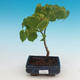 Outdoor bonsai - Small-leaved lime - 1/2