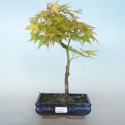 Acer palmatum Aureum - Golden Palm Maple VB2020-649 - 1