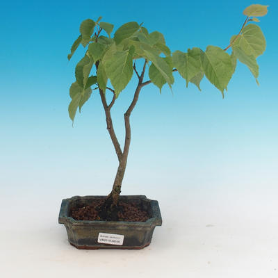 Outdoor bonsai - Small-leaved lime - 1