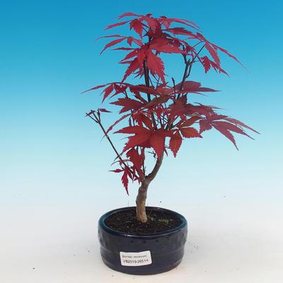 Outdoor bonsai - Acer palm. Atropurpureum - Japanese Maple Red - 1