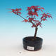 Outdoor bonsai - maple palmatum DESHOJO - Maple dlanitolistý - 1/3