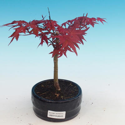Outdoor bonsai - maple palmatum DESHOJO - Maple dlanitolistý - 1
