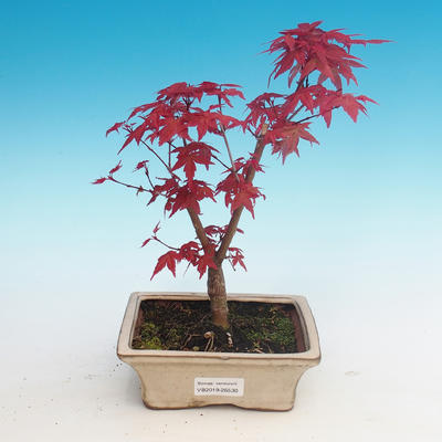 Outdoor bonsai - maple palmatum DESHOJO - Maple dlanitolistý - 1