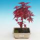Outdoor bonsai - maple palmatum DESHOJO - Maple dlanitolistý - 1/3