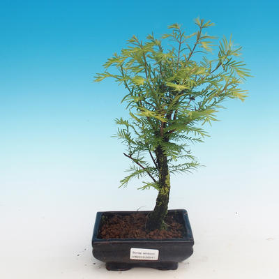 Outdoor bonsai - Two-line bream - 1