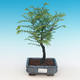 Outdoor bonsai - Two-line bream - 1/4