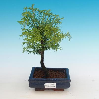 Outdoor bonsai - Two-line bream - 1