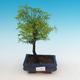 Outdoor bonsai - Two-line bream - 1/4