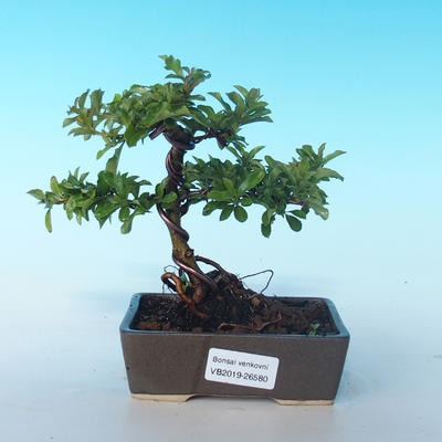 Outdoor Bonsai-Pyracanta Teton -Bakery - 1
