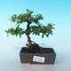 Outdoor Bonsai-Pyracanta Teton -Bakery - 1/2