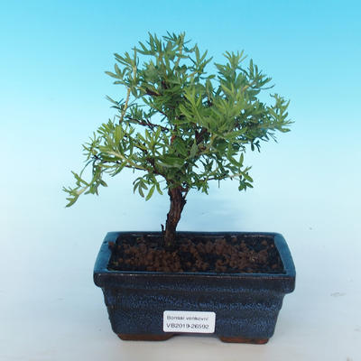 Outdoor bonsai-cinquefoil - Dasiphora fruticosa yellow - 1