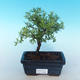 Outdoor bonsai-cinquefoil - Dasiphora fruticosa yellow - 1/2