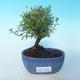 Outdoor bonsai-cinquefoil - Dasiphora fruticosa yellow - 1/2