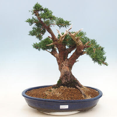 Outdoor bonsai - Juniperus chinensis - Chinese juniper - 1