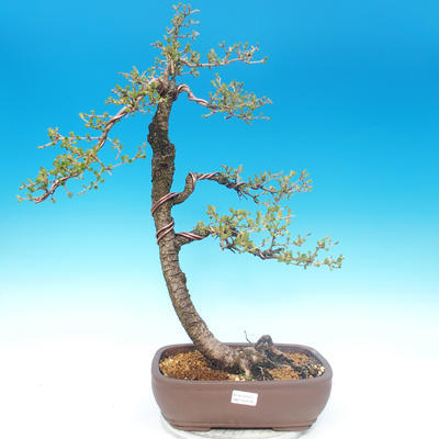 Outdoor bonsai - Larix decidua - Larch deciduous - 1