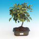 Outdoor bonsai -Malus Halliana - fruited apple - 1/4