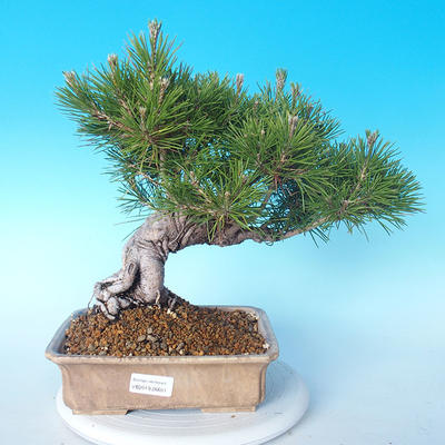 Pinus thunbergii - Thunberg Pine - 1