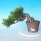 Pinus thunbergii - Thunberg Pine - 1/5