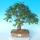 Outdoor bonsai -Carpinus CARPINOIDES - Korean Hornbeam - 1/5