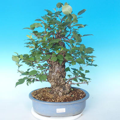 Outdoor bonsai - Japanese pear NASHI - Pyrus pyrifolia - 1
