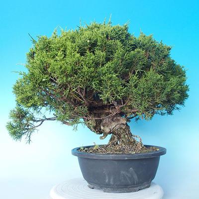 Outdoor bonsai - Juniperus chinensis ITOIGAWA - Chinese Juniper - 1