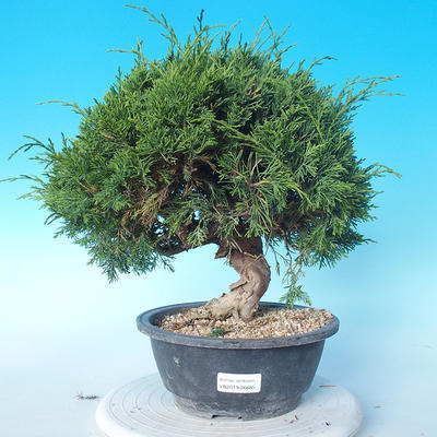 Outdoor bonsai - Juniperus chinensis ITOIGAWA - Chinese Juniper - 1
