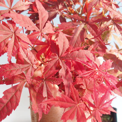 Outdoor bonsai - Acer palm. Atropurpureum-Japanese Maple Red 408-VB2019-26725 - 1