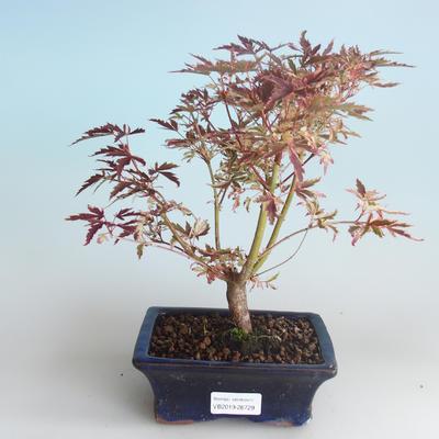 Outdoor Bonsai - Japanese Maple Acer palmatum Butterfly 408-VB2019-26729 - 1
