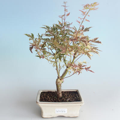 Outdoor Bonsai - Japanese Maple Acer palmatum Butterfly 408-VB2019-26730 - 1