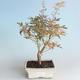 Outdoor Bonsai - Japanese Maple Acer palmatum Butterfly 408-VB2019-26730 - 1/2