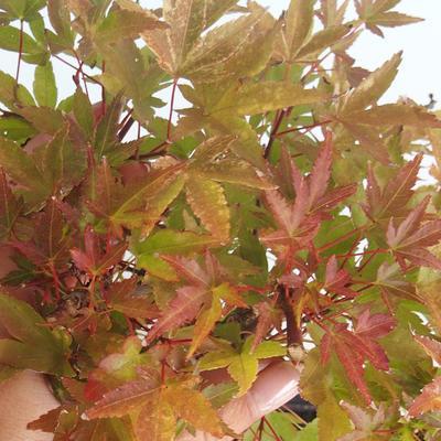 Outdoor bonsai - Acer palmatum Beni Tsucasa - Japanese Maple 408-VB2019-26736 - 1