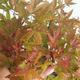 Outdoor bonsai - Acer palmatum Beni Tsucasa - Japanese Maple 408-VB2019-26736 - 1/4