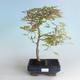 Outdoor bonsai - Acer palmatum Beni Tsucasa - Japanese Maple 408-VB2019-26734 - 1/4