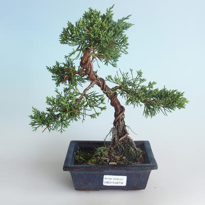 Outdoor bonsai - Juniperus chinensis - Chinese juniper 408-VB2019-26738