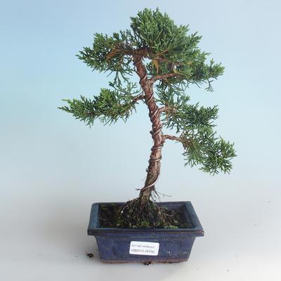 Outdoor bonsai - Juniperus chinensis - Chinese juniper 408-VB2019-26740