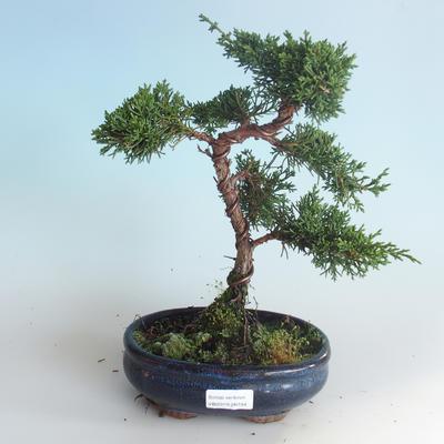Outdoor bonsai - Juniperus chinensis - Chinese juniper 408-VB2019-26744