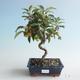 Outdoor bonsai - Malus halliana - Small Apple 408-VB2019-26749 - 1/4