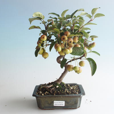 Outdoor bonsai - Malus halliana - Small Apple 408-VB2019-26750 - 1