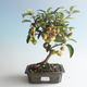 Outdoor bonsai - Malus halliana - Small Apple 408-VB2019-26750 - 1/4