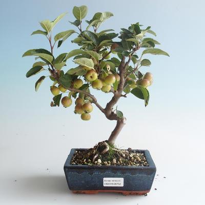 Outdoor bonsai - Malus halliana - Small Apple 408-VB2019-26752 - 1